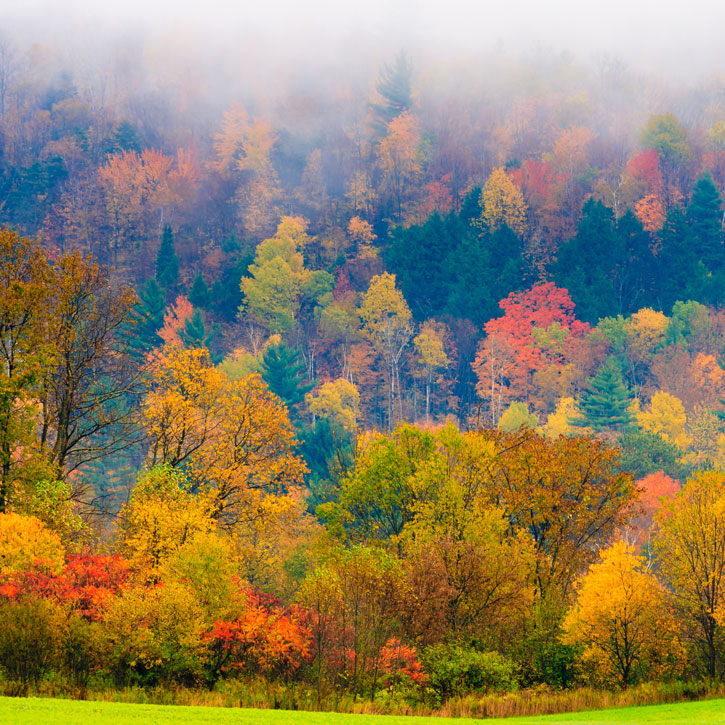 Field of trees during fall foliage, Stowe Vermont, USA
